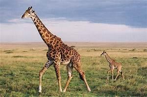 giraffe | Natural History  Giraffe