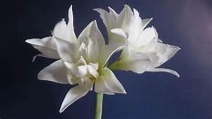Amaryllis In Wachs Selber Machen : amaryllis pflanzen einfache serviettentechnik sch ne weihnachtsdeko als video f r euch deko ~ Orissabook.com Haus und Dekorationen