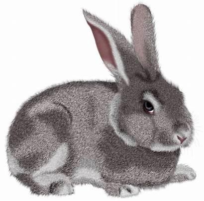 Rabbit Bunny Clipart Grey Transparent Pet Lapin