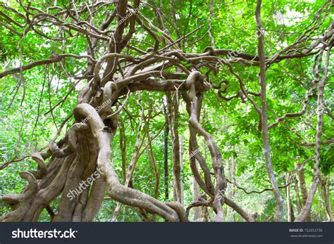 Monkey Ladder Lianas Bauhinia Sp Tropical Stock Photo