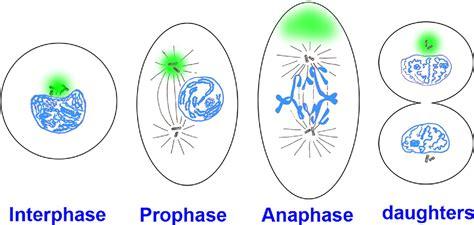 asymmetric mitosis unequal segregation  proteins