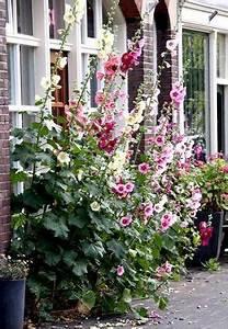 les 25 meilleures idees de la categorie rosiers grimpants With idee de plantation pour jardin 18 jasmin etoile plantation taille et entretien