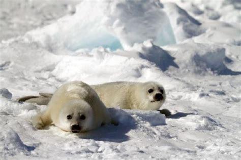 stlawrence  baby harp seal photo safari trip