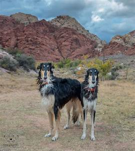 Dog photo of the day borzoi bark gallery las vegas nv for Dog days las vegas