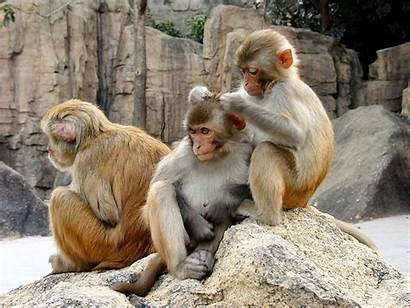 Monkeys Rhesus Thailand Hungry Macaques Monkey Animals