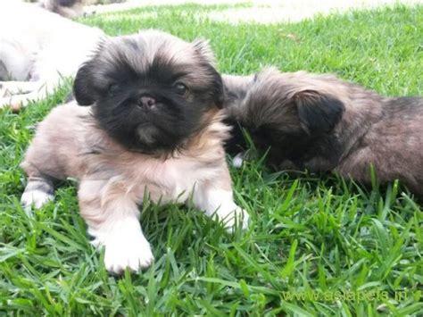 lhasa apso puppies  sale  surat   price asiapets