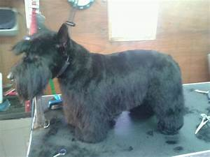Scottie Haircut | my favorite dogs the invisible agent ...