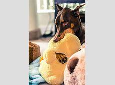 22 besten Dobermann Bilder auf Pinterest Dobermänner
