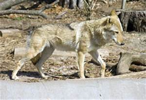 Symbole Du Loup : loup dans un terrier photo stock image du outside trou ~ Melissatoandfro.com Idées de Décoration