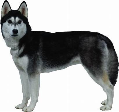 Husky Puppy Siberian Shepherd German Clipart Transparent
