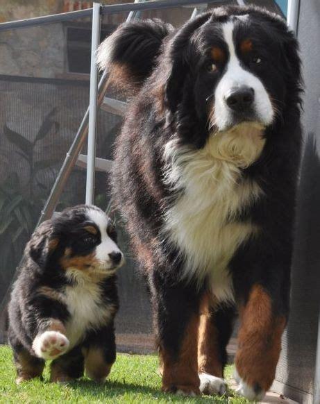 bernese mountain dog animalsssss pinterest