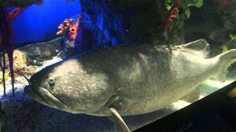 grouper goliath tank atlantic