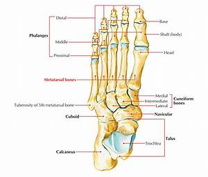 Metatarsal Anatomy - Human Anatomy