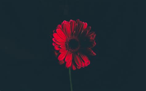 Hd Dark Abstract Wallpapers Wallpaper Red Daisy Hd 4k Flowers 6152