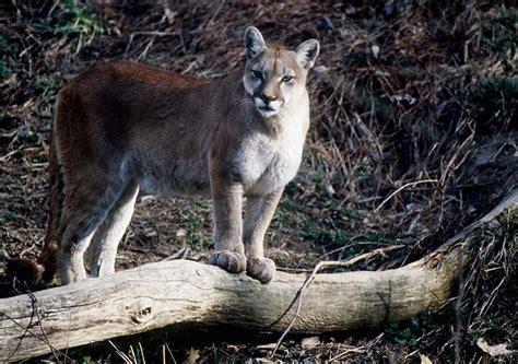 female mountain lion confirmed  missouri