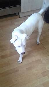 All White Rednose Pitbulls | www.imgkid.com - The Image ...