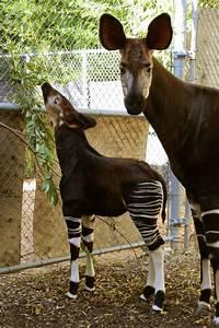 dallas zoo welcomes 36th okapi calf zooborns