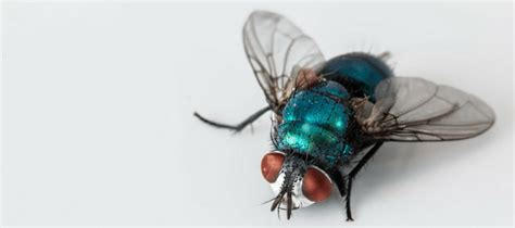 how does a house fly live how do flies live abc