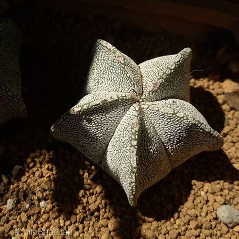 Little star 🌟 #astro #myriostigma #mini3garden #succulents ...