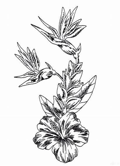 Flower Drawing Flowers Tropical Plumeria Drawings Sketch