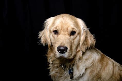 Golden Retriever Dog Black Background Portrait Stock