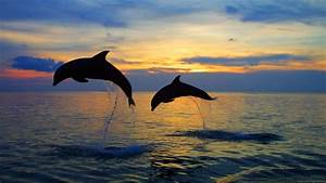 Dolphin Full HD Wallpaper and Background Image | 1920x1080 ...