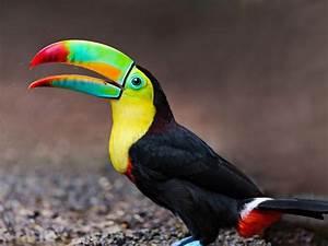 Toucan, Tropical