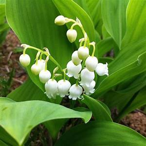 Lily Of The Valley Pips