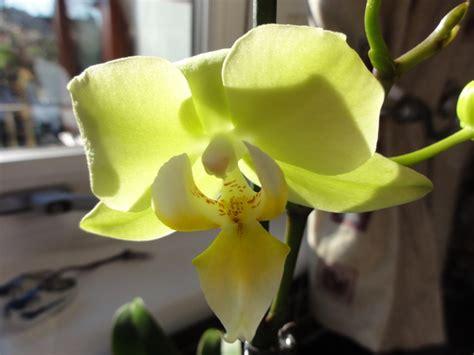reblooming orchids phalaenopsis my 1st ever rebloom phal