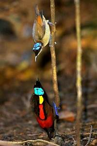 The beautiful Wilson's Bird-of-Paradise - Beauty will save