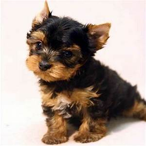 Teacup Yorkshire Terrier Puppy images