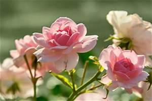 Rosenbeet Mit Stauden : rosenbeet anlegen pflanzplan und begleitpflanzen ~ Frokenaadalensverden.com Haus und Dekorationen