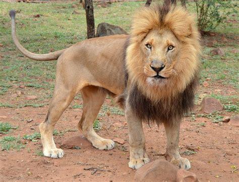 mammal animal lion  photo  pixabay
