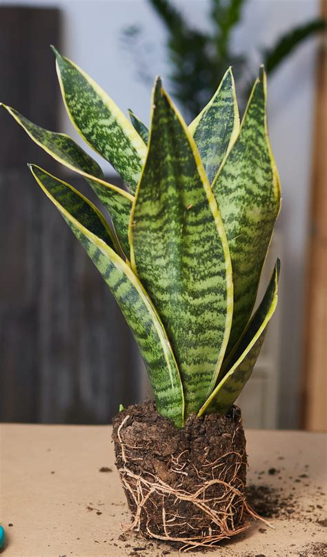 Buy a 30cm Tall Snake Plant | HeyPlants