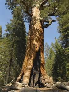 Yosemite Giant Sequoia Trees