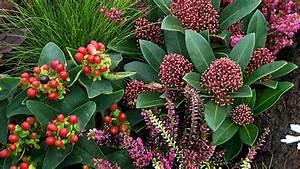 Skimmie (Skimmia japonica): Toller Farbtupfer im Garten
