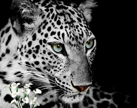 gorgeous  white leopard blue eyes wallpaper animal wall