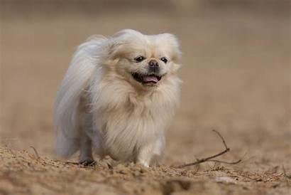 Dog Breed Pekingese