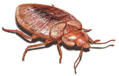bed bugs flat what do bedbug bites look like what do bed bugs look like