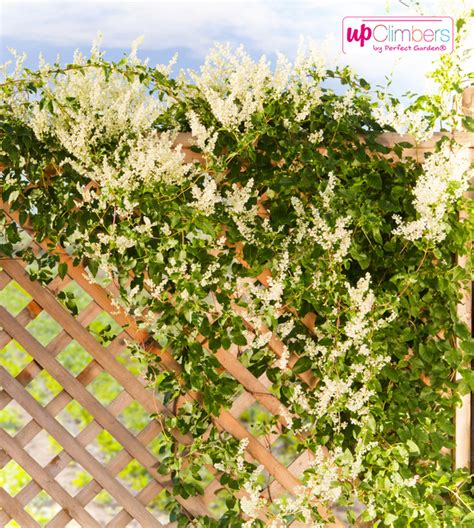 growing climbers for fences fuji snow fallopia my perfect garden