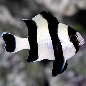 Saltwater Aquarium Fish for Marine Aquariums: Four Stripe ...