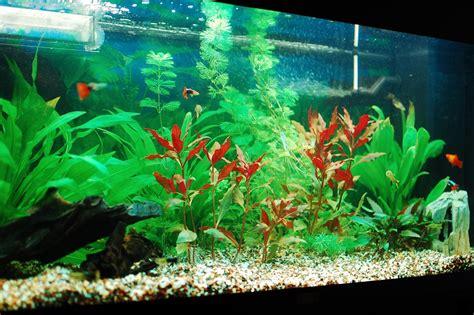 neon pour aquarium images freshwater aquarium talk