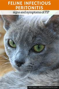 fip cats signs and symptoms of feline infectious peritonitis fip