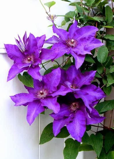vw garden clematis  bloom