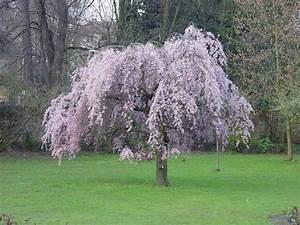 Planter Un Cerisier : cerisier pleureur japonais arbres sol argileux et ou ~ Melissatoandfro.com Idées de Décoration