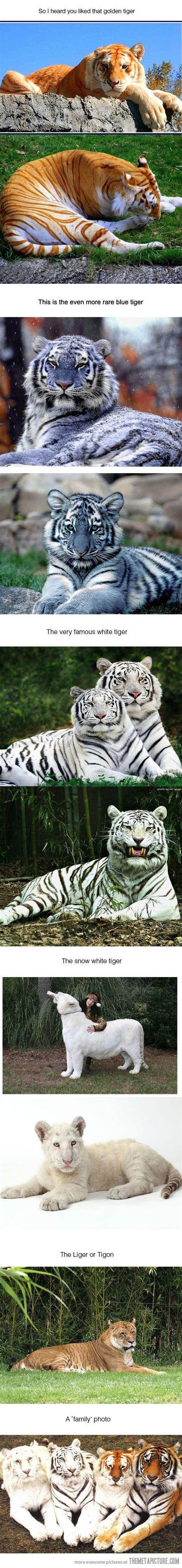 Rare Tigers Beautiful Male Lion Cute