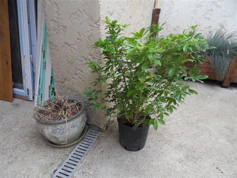 oranger du mexique en pot au jardin forum de jardinage