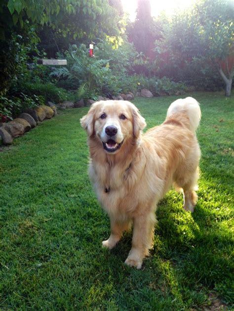 945 Best Images About Golden Retriever On Pinterest