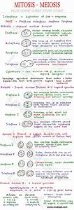 Mitosis And Meiosis Mcat Biology Cheat Sheet Study Guide
