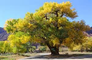 cottonwood tree care arborscape tree service denver